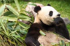гигантская панда стоковое фото
