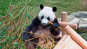 гигантская панда сток-видео