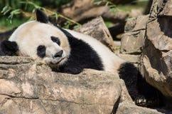 Гигантская панда napping на утесах Стоковые Изображения RF