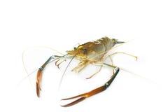 Гигантская пресноводная креветка (rosenbergii de Человек chium Macrobra) на wh Стоковое Изображение