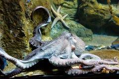 Гигантская рука осьминога - dofleini Enteroctopus Стоковые Изображения RF