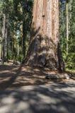 Гигантская секвойя в Калифорнии Стоковое Изображение