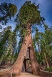 Гигантская секвойя около национального парка Yosemite в Калифорния стоковые изображения