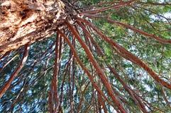 Гигантская секвойя стоковые фото