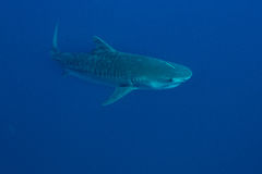 Гигантская тигровая акула Стоковые Изображения RF
