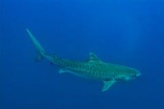 Гигантская тигровая акула Стоковые Фотографии RF