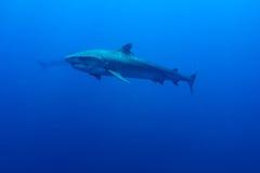 Гигантская тигровая акула Стоковое Изображение