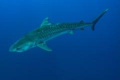 Гигантская тигровая акула Стоковое Изображение RF