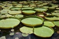 Гигантская цветя лилия воды, впечатляюще красивая стоковые изображения