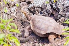 Гигантская черепаха в Галапагос Стоковое Фото