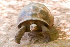 Гигантская черепаха в Галапагос Стоковые Изображения RF