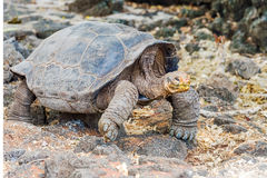 Гигантская черепаха в Галапагос Стоковое Изображение RF