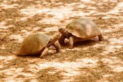 Гигантская черепаха в Галапагос Стоковые Фотографии RF