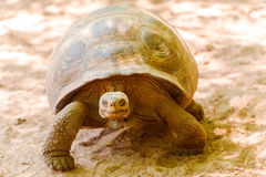 Гигантская черепаха в Галапагос Стоковая Фотография