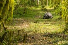 Гигантская черепаха в древесинах Стоковые Фото