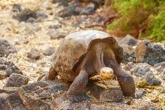 Гигантская черепаха в центре Дарвина, Галапагос Стоковые Фото