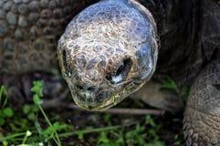 Гигантская черепаха ест траву Стоковая Фотография RF