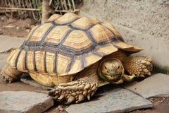 Гигантская черепаха земли Стоковое Изображение