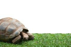 Гигантская черепаха идя на траву изолированную на белой предпосылке Стоковое Изображение
