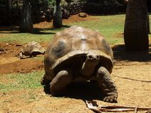 Гигантская черепаха идя через запас Vanille Ла Стоковая Фотография