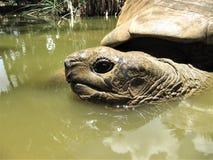 Гигантская черепаха имея ванну в запасе Vanille Ла Стоковое фото RF