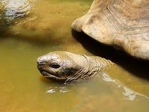Гигантская черепаха имея ванну Стоковые Изображения