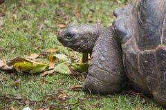 Гигантская черепаха, Ла Digue, Сейшельские островы Стоковое Изображение