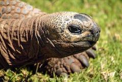 Гигантская черепаха медленно двигает над травой стоковая фотография