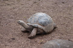 Гигантская черепаха на Маврикии Стоковые Изображения