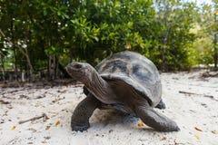 Гигантская черепаха на острове Curieuse Стоковое Изображение RF