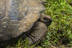Гигантская черепаха на траве Стоковое фото RF