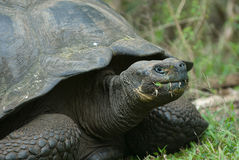 Гигантская черепаха, острова galapagos, эквадор Стоковая Фотография