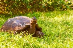 Гигантская черепаха от Галапагос Стоковое фото RF
