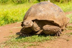 Гигантская черепаха от Галапагос Стоковое Фото