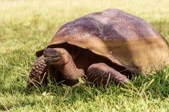 Гигантская черепаха от Галапагос Стоковые Фотографии RF