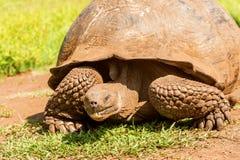 Гигантская черепаха от Галапагос Стоковое Изображение