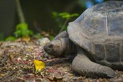 Гигантская черепаха, Сейшельские островы Стоковая Фотография