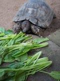 Гигантская черепаха съела овощ Стоковые Изображения