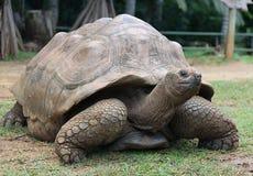 Гигантская черепаха Стоковые Фото