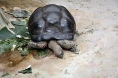 гигантская черепаха Стоковые Фотографии RF