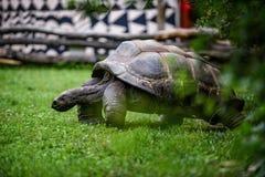 гигантская черепаха Стоковое фото RF