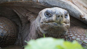гигантская черепаха стоковая фотография rf