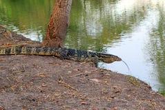 Гигантская ящерица идет к реке Стоковое Изображение