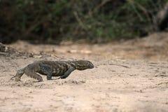 гигантская legavaan ящерица Стоковая Фотография RF
