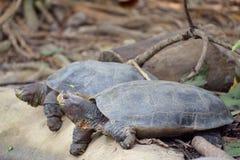Гигантские азиатские черепахи пруда Стоковые Изображения RF