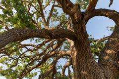 Гигантские ветви гигантского дуба долины в южной Калифорнии Стоковые Фотографии RF