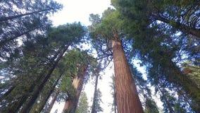 Гигантские деревья на национальном парке секвойи акции видеоматериалы