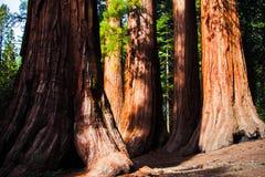 Гигантские деревья в национальном парке Yosemite, Калифорнии Стоковое фото RF