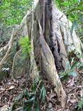 Гигантские корни подстенка Стоковая Фотография RF