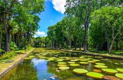 Гигантские лилии воды Виктория Amazonica Стоковое фото RF